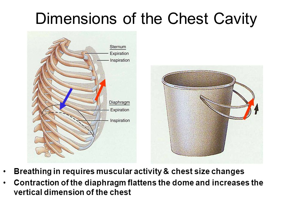 Dimensions of the Chest Cavity Breathing in requires muscular activity & chest size changes Contraction of the diaphragm flattens the dome and increas