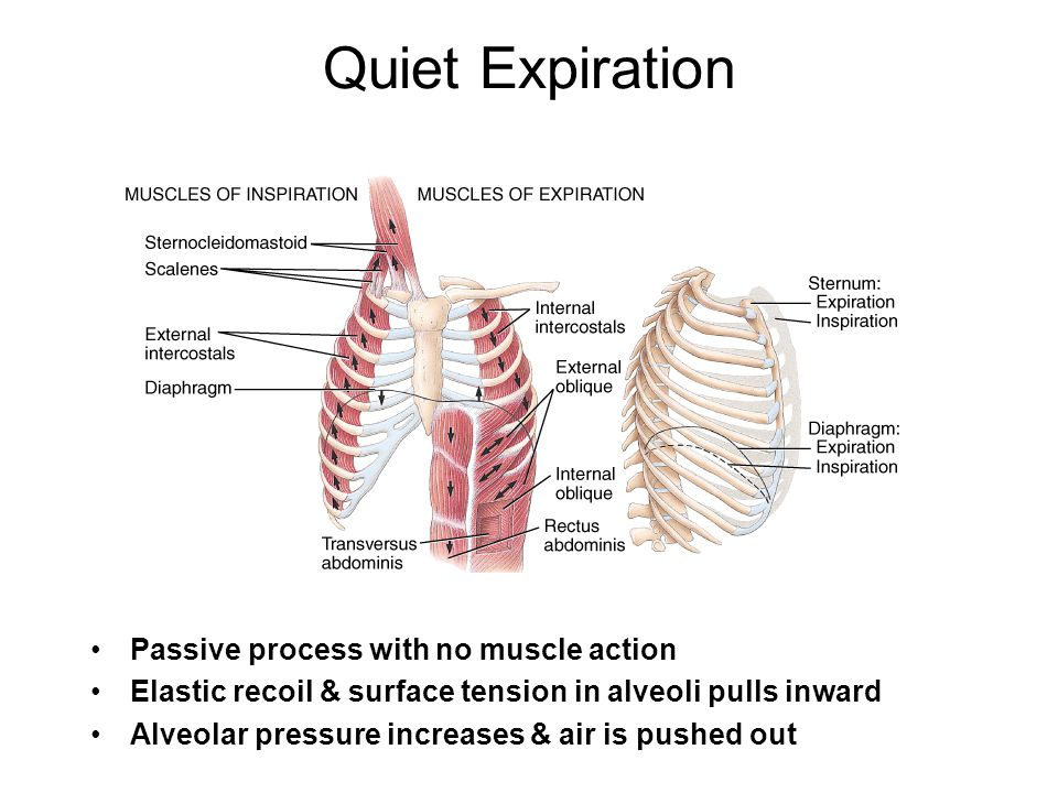 Passive process with no muscle action Elastic recoil & surface tension in alveoli pulls inward Alveolar pressure increases & air is pushed out Quiet E