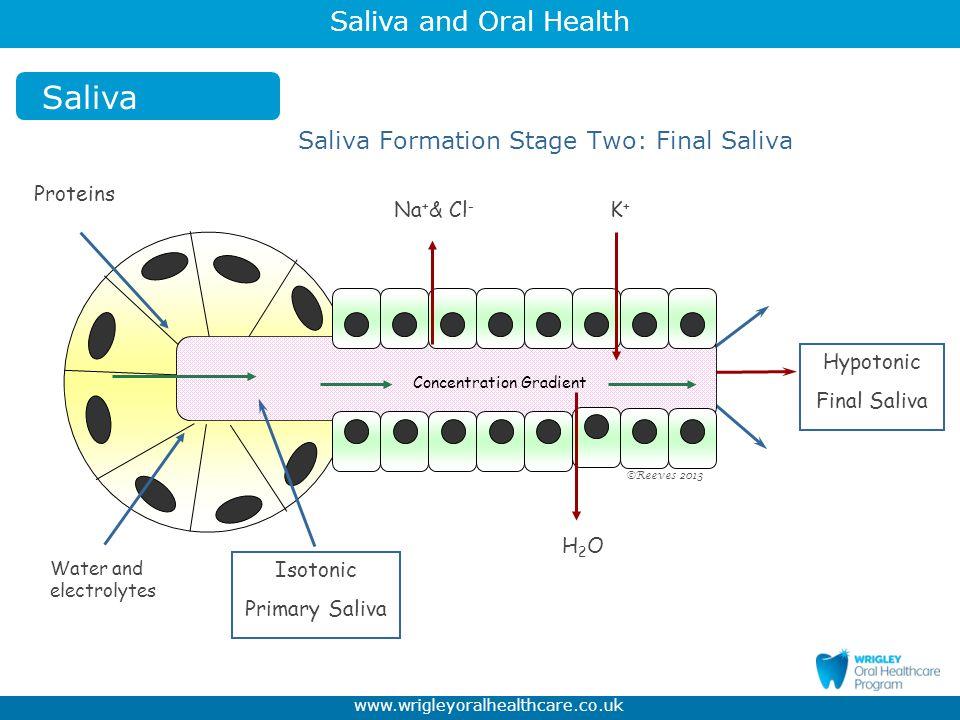 Saliva and Oral Health www.wrigleyoralhealthcare.co.uk 99.4 % Water 0.2 % Soluble inorganic substances: sodium, potassium, calcium, chloride, bicarbonate, phosphate, fluoride 0.3% Soluble organic substances: proteins, digestive enzyme (amylase), mucins, antibodies (immunoglobulins), urea, peroxidases, antioxidant enzymes (SOD catalase gluathione) 0.1 % insoluble substances Saliva The Composition of Saliva