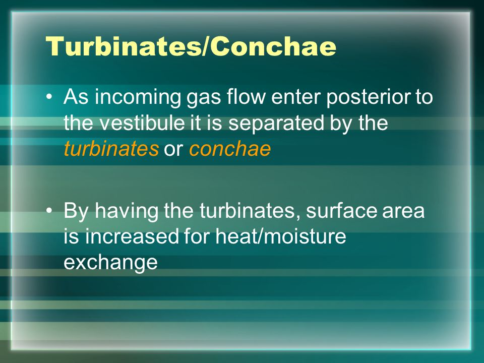 Turbinates/Conchae Lines the nasal cavity like three walls Twisted to allow particles to be filtered and air to be heated and humidified Mucous membranes line turbinates, Mucous glands line