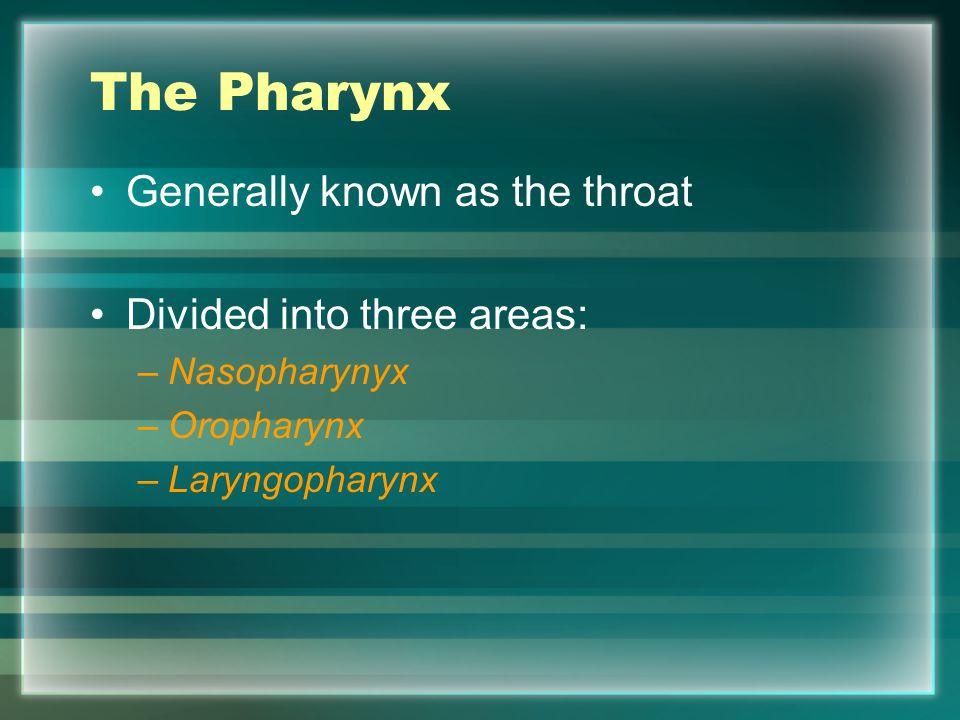 The Pharynx Generally known as the throat Divided into three areas: –Nasopharynyx –Oropharynx –Laryngopharynx