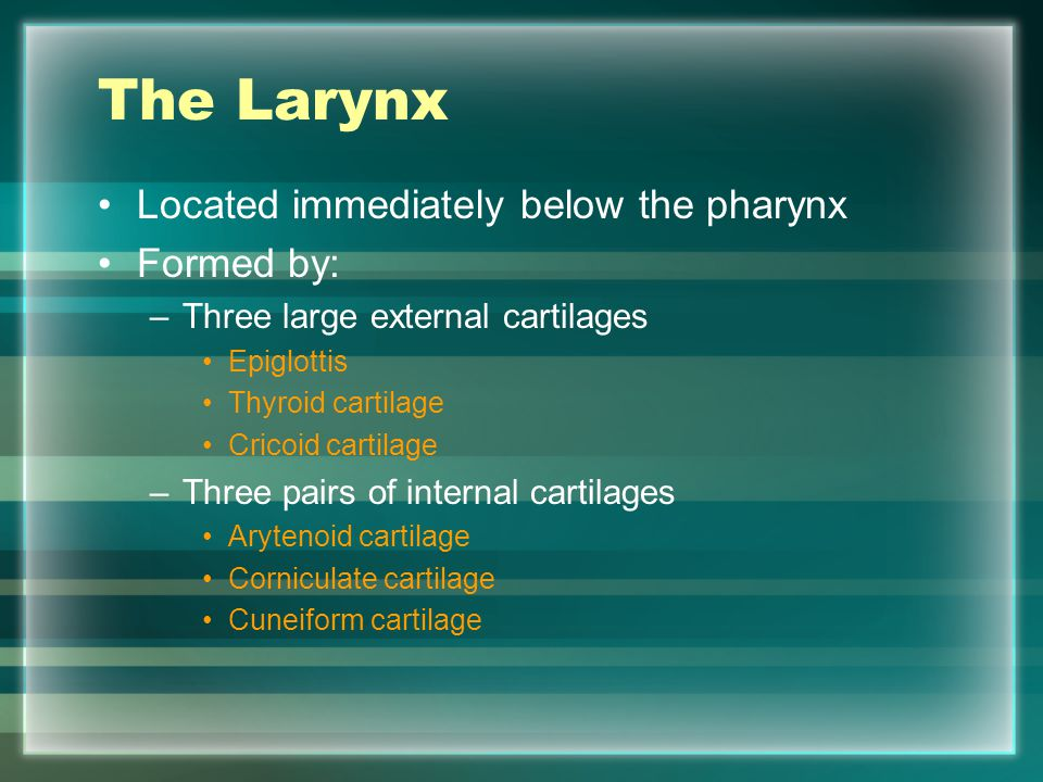 The Larynx Located immediately below the pharynx Formed by: –Three large external cartilages Epiglottis Thyroid cartilage Cricoid cartilage –Three pai