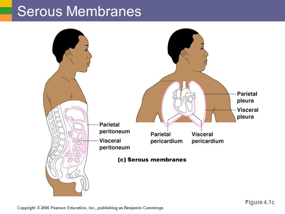 Copyright © 2006 Pearson Education, Inc., publishing as Benjamin Cummings Serous Membranes Figure 4.1c