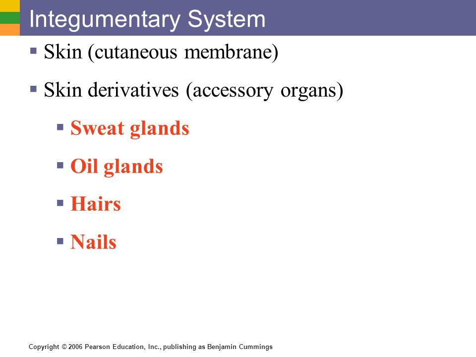 Copyright © 2006 Pearson Education, Inc., publishing as Benjamin Cummings Integumentary System  Skin (cutaneous membrane)  Skin derivatives (accesso
