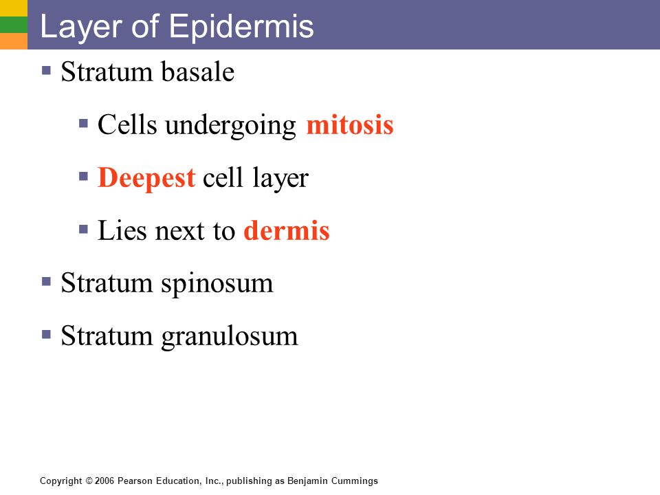 Copyright © 2006 Pearson Education, Inc., publishing as Benjamin Cummings Layer of Epidermis  Stratum basale  Cells undergoing mitosis  Deepest cel