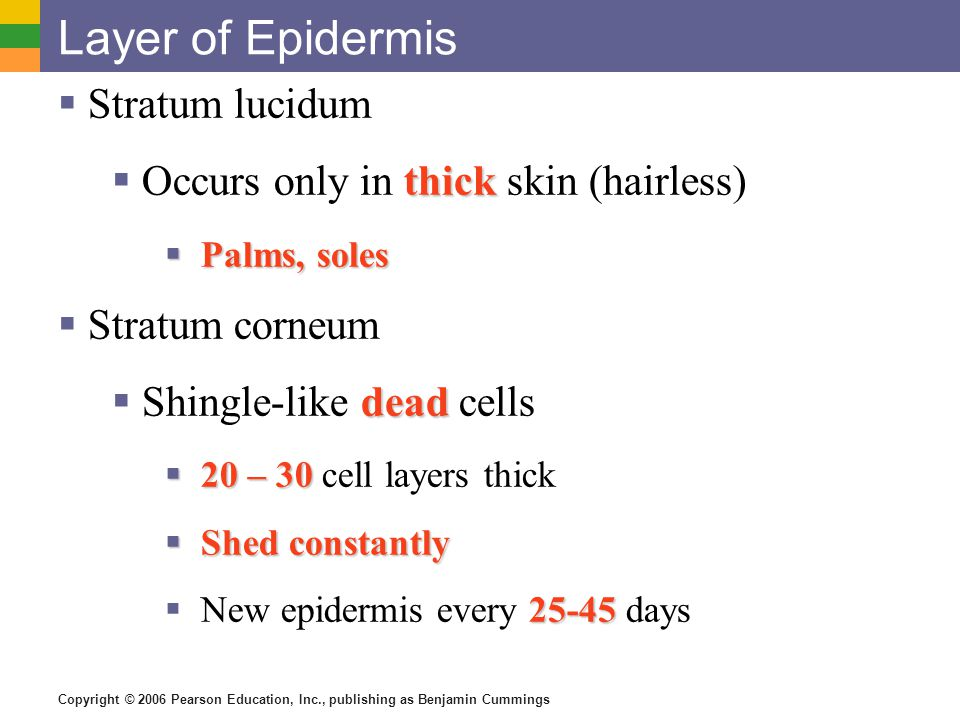 Copyright © 2006 Pearson Education, Inc., publishing as Benjamin Cummings Layer of Epidermis  Stratum lucidum thick  Occurs only in thick skin (hair