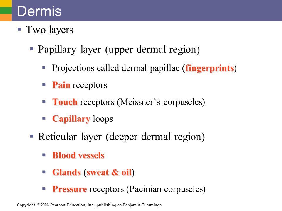 Copyright © 2006 Pearson Education, Inc., publishing as Benjamin Cummings Dermis  Two layers  Papillary layer (upper dermal region) fingerprints  P