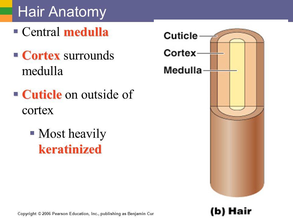 Copyright © 2006 Pearson Education, Inc., publishing as Benjamin Cummings Hair Anatomy medulla  Central medulla  Cortex  Cortex surrounds medulla 