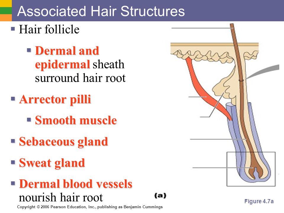 Copyright © 2006 Pearson Education, Inc., publishing as Benjamin Cummings Associated Hair Structures  Hair follicle  Dermal and epidermal  Dermal a