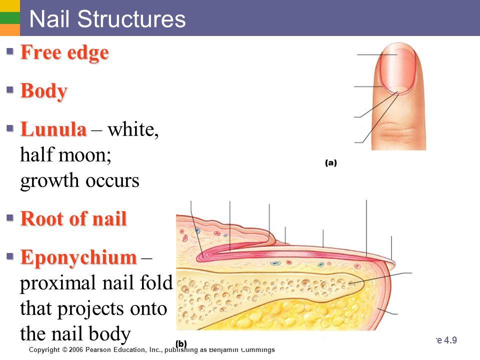 Copyright © 2006 Pearson Education, Inc., publishing as Benjamin Cummings Nail Structures  Free edge  Body  Lunula  Lunula – white, half moon; gro