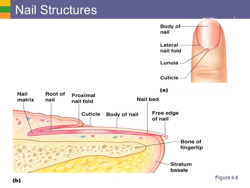 Copyright © 2006 Pearson Education, Inc., publishing as Benjamin Cummings Nail Structures Figure 4.9