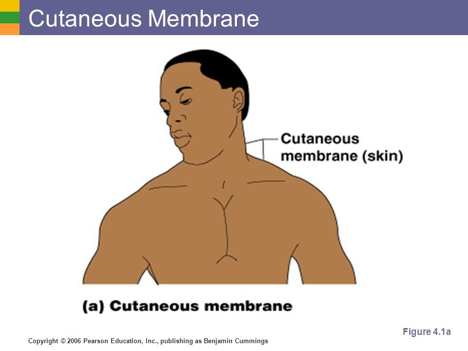 Copyright © 2006 Pearson Education, Inc., publishing as Benjamin Cummings Cutaneous Membrane Figure 4.1a