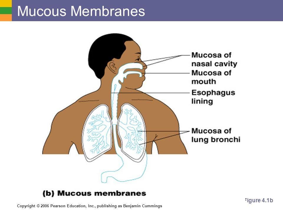 Copyright © 2006 Pearson Education, Inc., publishing as Benjamin Cummings Mucous Membranes Figure 4.1b