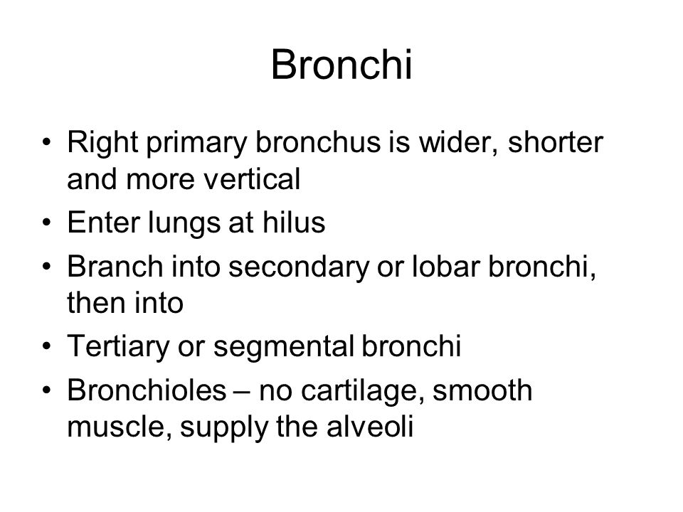 Bronchi Right primary bronchus is wider, shorter and more vertical Enter lungs at hilus Branch into secondary or lobar bronchi, then into Tertiary or