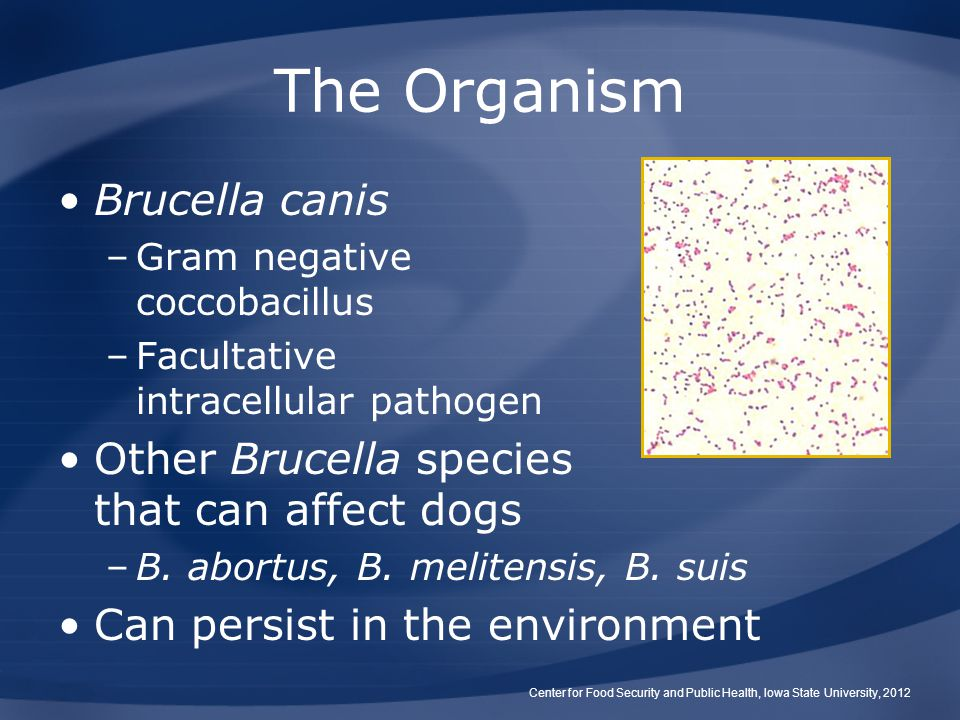 The Organism Brucella canis –Gram negative coccobacillus –Facultative intracellular pathogen Other Brucella species that can affect dogs –B.