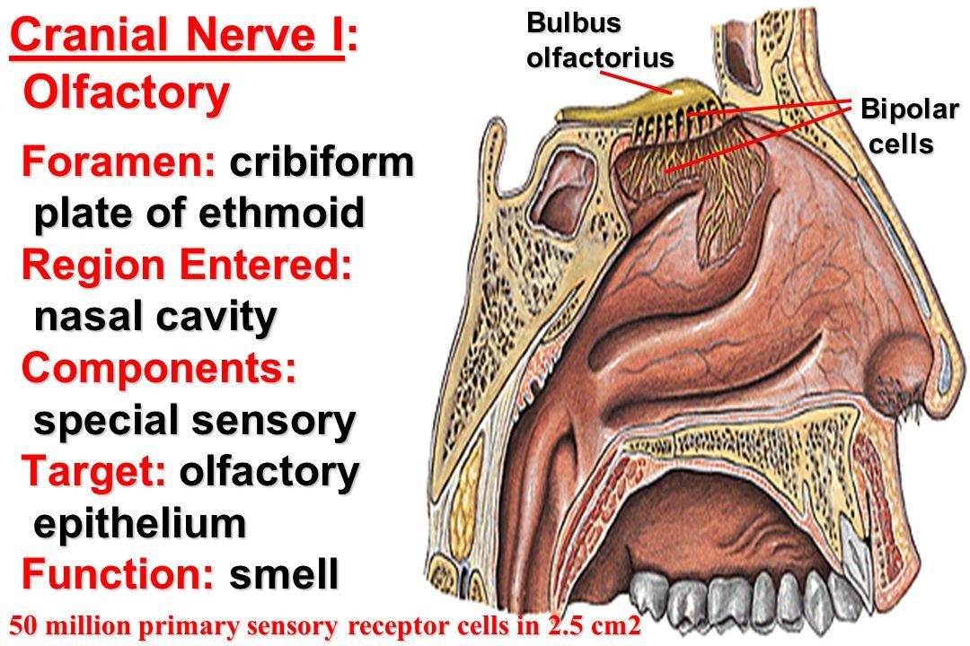 Foramen: cribiform Foramen: cribiform plate of ethmoid plate of ethmoid Region Entered: Region Entered: nasal cavity nasal cavity Components: Componen