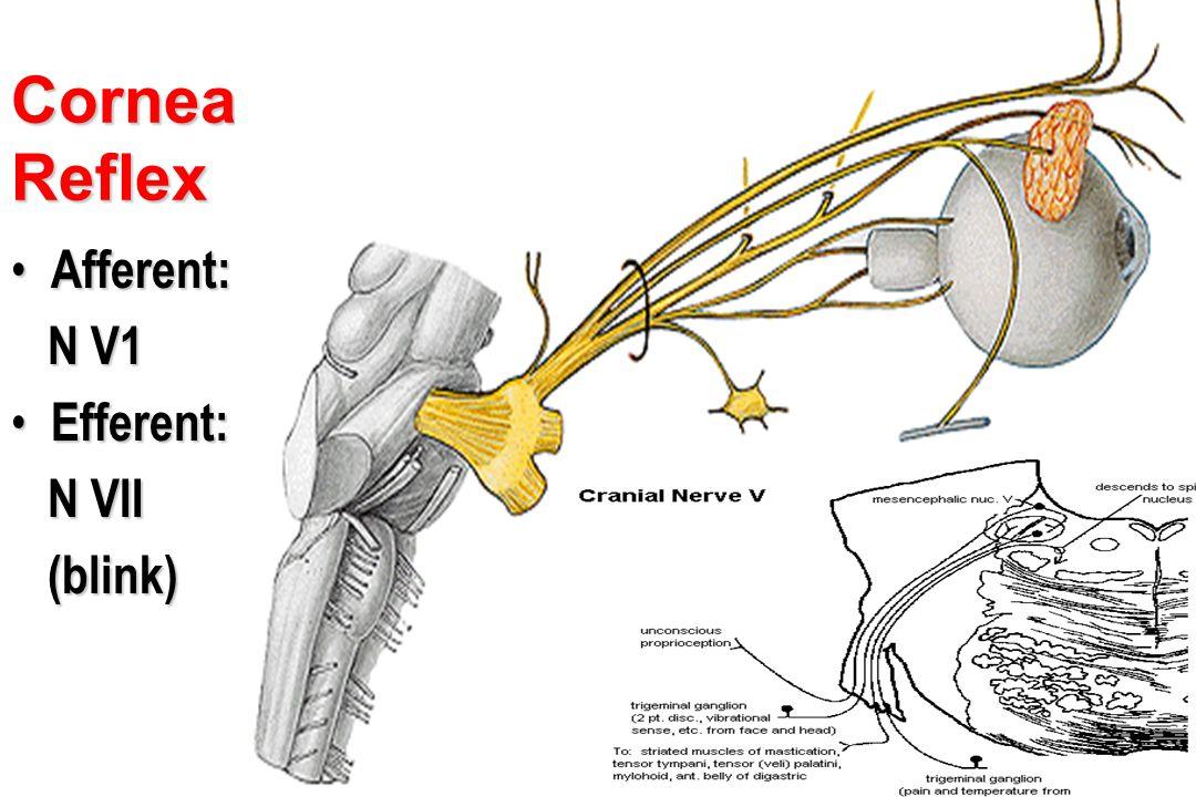 Cornea Reflex Afferent: Afferent: N V1 N V1 Efferent: Efferent: N VII N VII (blink) (blink) Ciliary ganglion