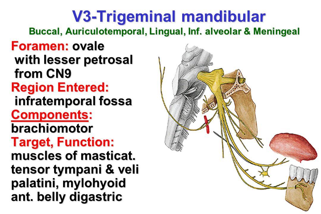 V3-Trigeminal mandibular Buccal, Auriculotemporal, Lingual, Inf. alveolar & Meningeal V3-Trigeminal mandibular Buccal, Auriculotemporal, Lingual, Inf.
