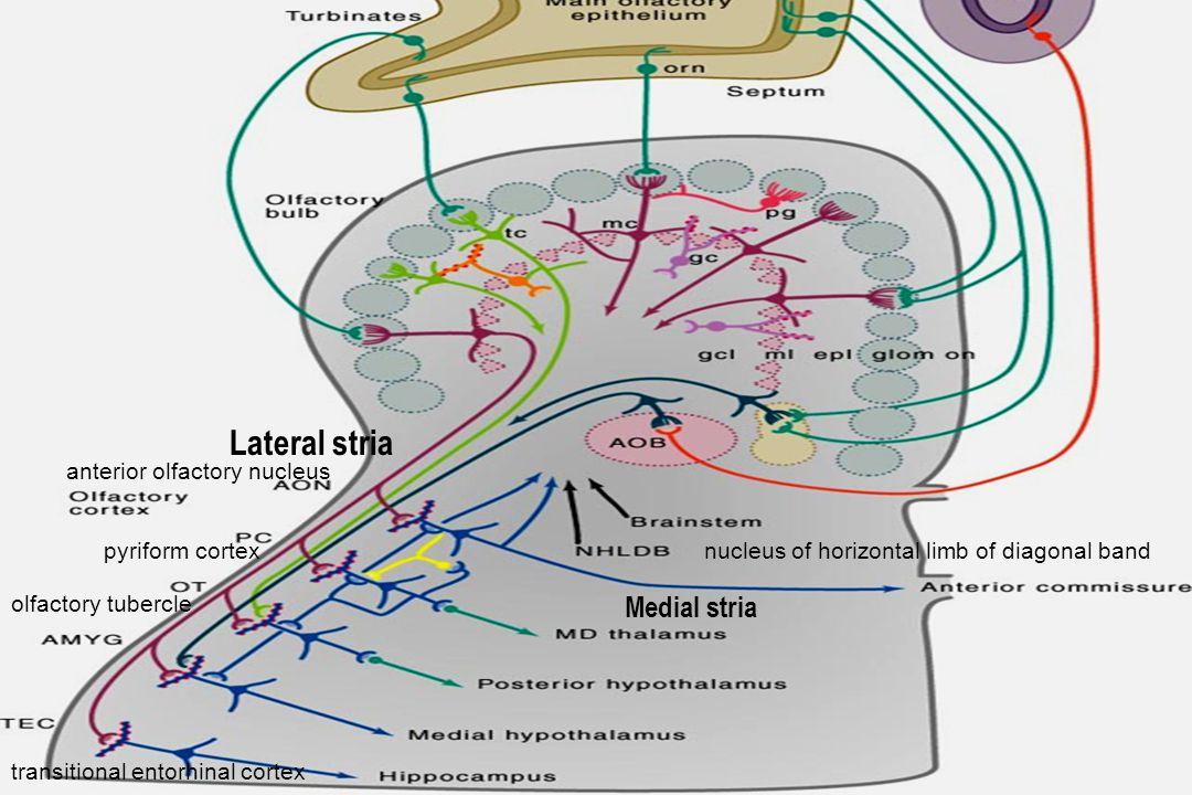 anterior olfactory nucleus pyriform cortex olfactory tubercle transitional entorhinal cortex nucleus of horizontal limb of diagonal band Medial stria
