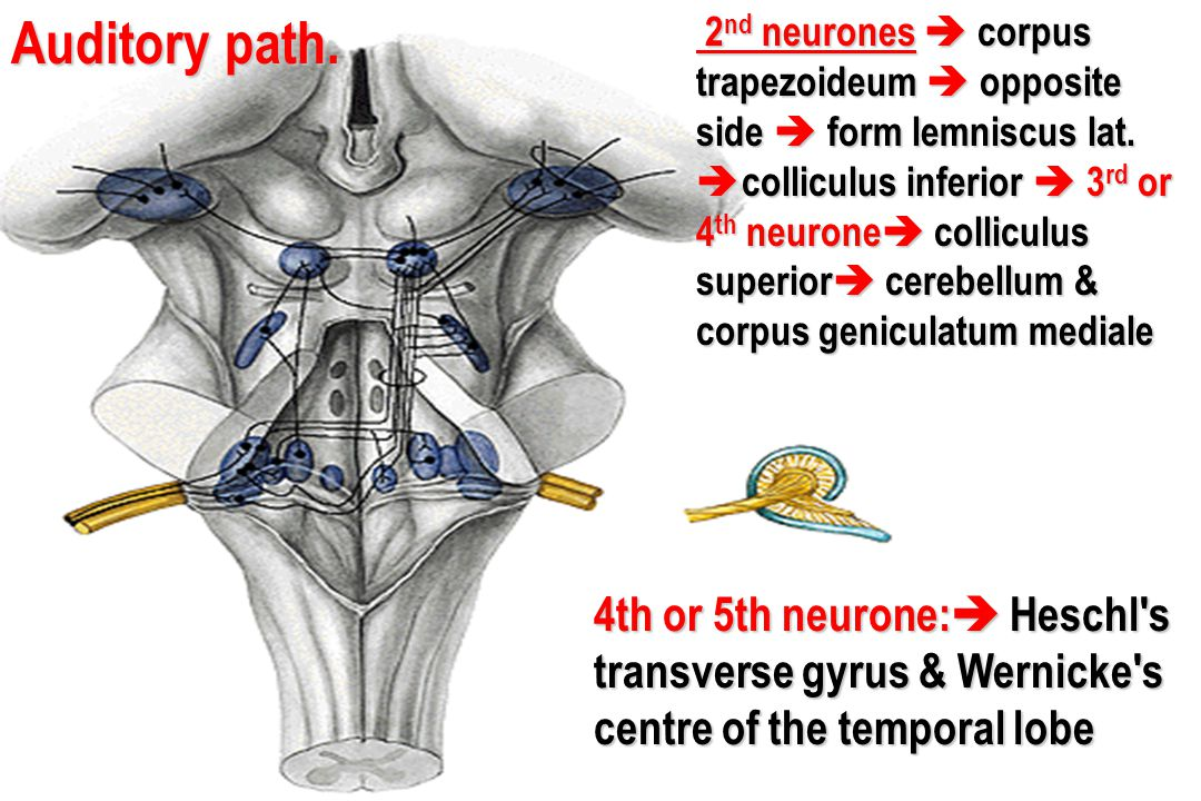 Auditory path. 4th or 5th neurone:  Heschl's transverse gyrus & Wernicke's centre of the temporal lobe 2 nd neurones  corpus trapezoideum  opposite