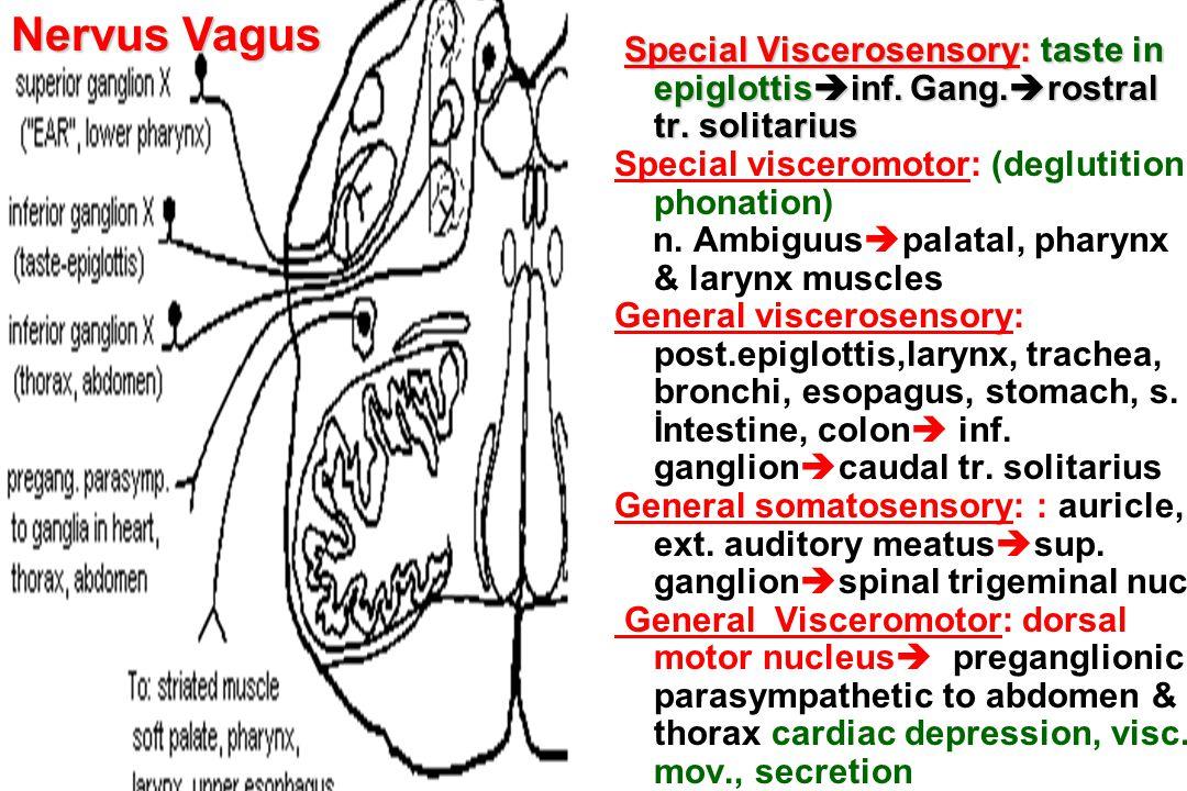 Special Viscerosensory: taste in epiglottis  inf. Gang.  rostral tr. solitarius Special visceromotor: (deglutition phonation) n. Ambiguus  palatal,
