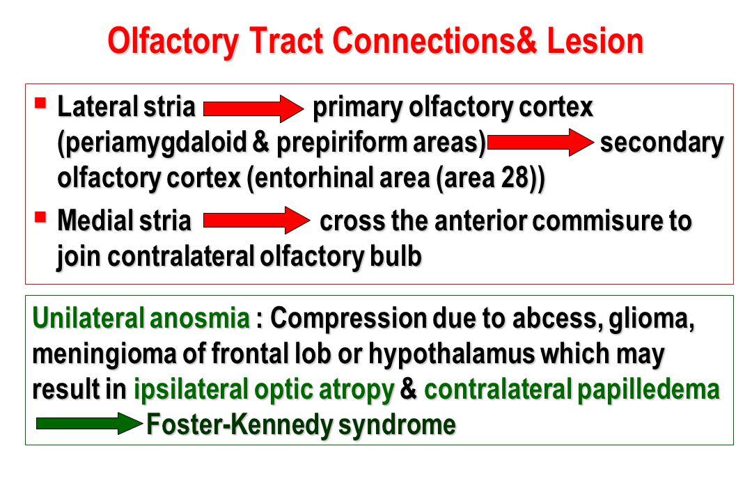 Olfactory Tract Connections& Lesion  Lateral stria primary olfactory cortex (periamygdaloid & prepiriform areas) secondary olfactory cortex (entorhin