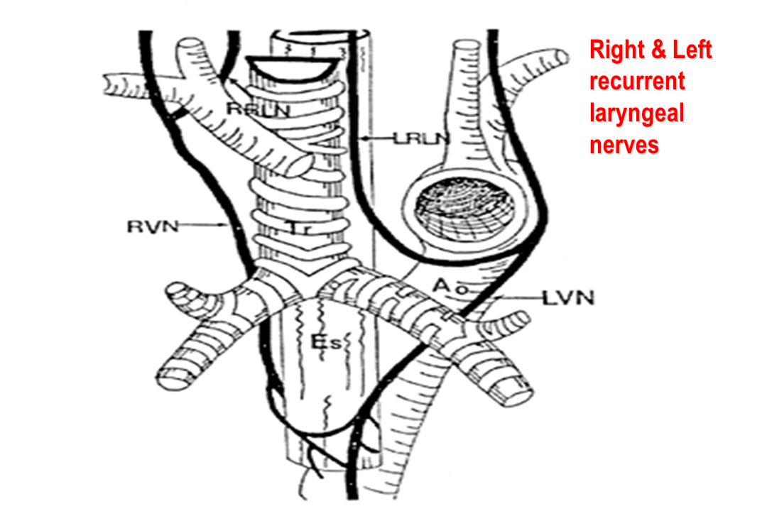Right & Left recurrent laryngeal nerves