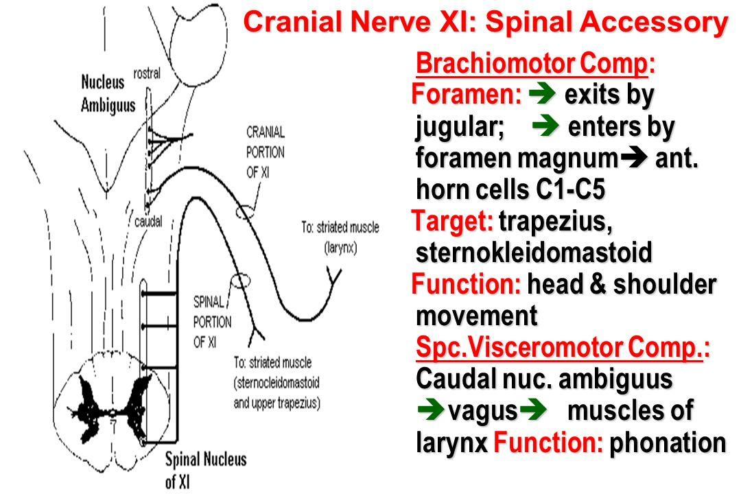 Brachiomotor Comp: Brachiomotor Comp: Foramen:  exits by jugular;  enters by foramen magnum  ant. horn cells C1-C5 Foramen:  exits by jugular;  e