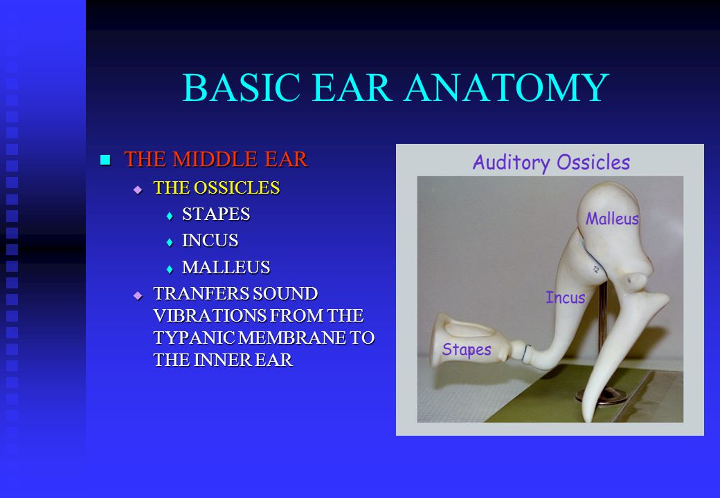 BASIC EAR ANATOMY THE MIDDLE EAR THE MIDDLE EAR  THE OSSICLES  STAPES  INCUS  MALLEUS  TRANFERS SOUND VIBRATIONS FROM THE TYPANIC MEMBRANE TO THE