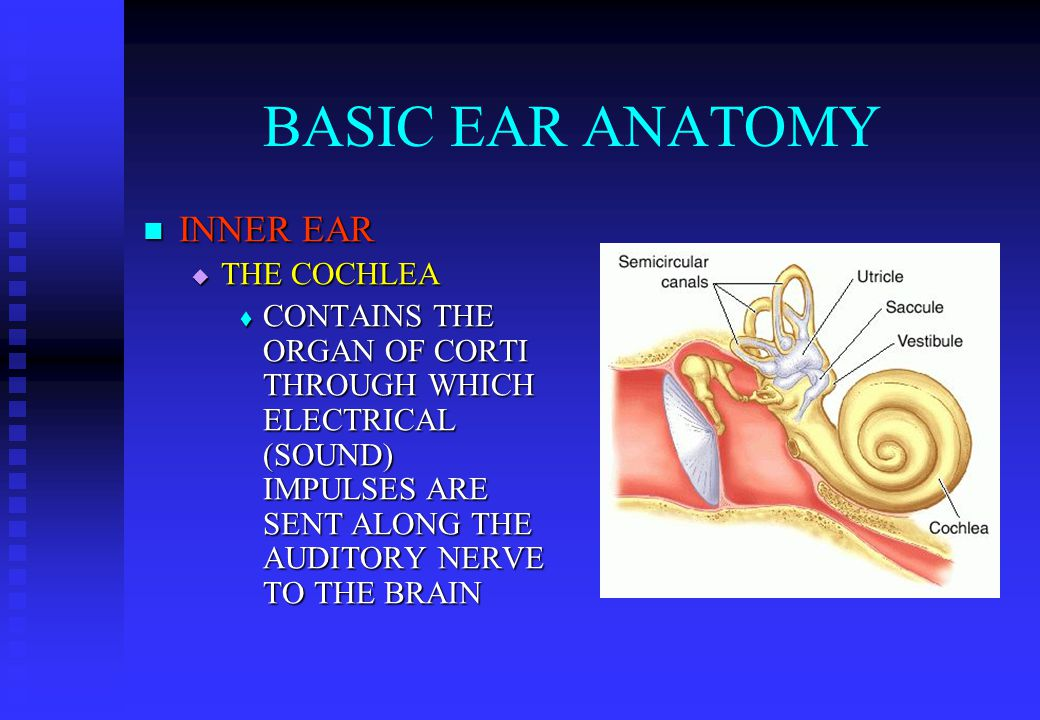 BASIC EAR ANATOMY INNER EAR INNER EAR  THE COCHLEA  CONTAINS THE ORGAN OF CORTI THROUGH WHICH ELECTRICAL (SOUND) IMPULSES ARE SENT ALONG THE AUDITORY NERVE TO THE BRAIN