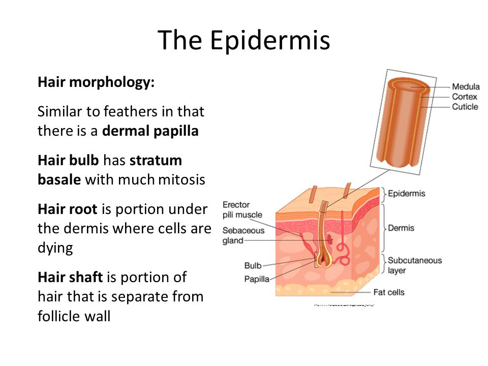 The Epidermis Hair morphology: Similar to feathers in that there is a dermal papilla Hair bulb has stratum basale with much mitosis Hair root is porti
