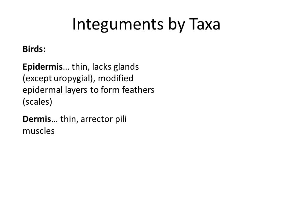 Integuments by Taxa Birds: Epidermis… thin, lacks glands (except uropygial), modified epidermal layers to form feathers (scales) Dermis… thin, arrecto