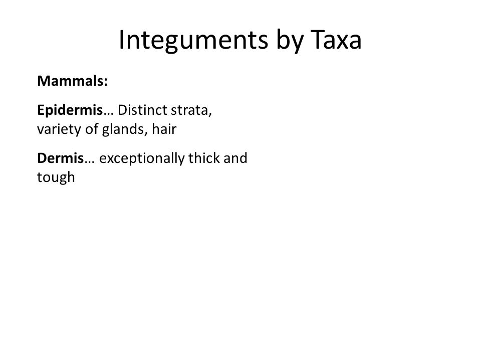 Integuments by Taxa Mammals: Epidermis… Distinct strata, variety of glands, hair Dermis… exceptionally thick and tough