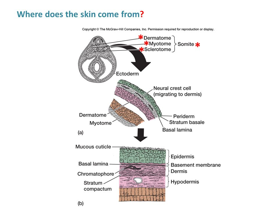 The Epidermis Epidermis of aquatic organisms: Most lack substantial amounts of keratin Cornified structures include: - Teeth of lamprey and hagfish -Stratum corneum of land-going amphibians - Teeth of tadpoles -Distal pads of digits