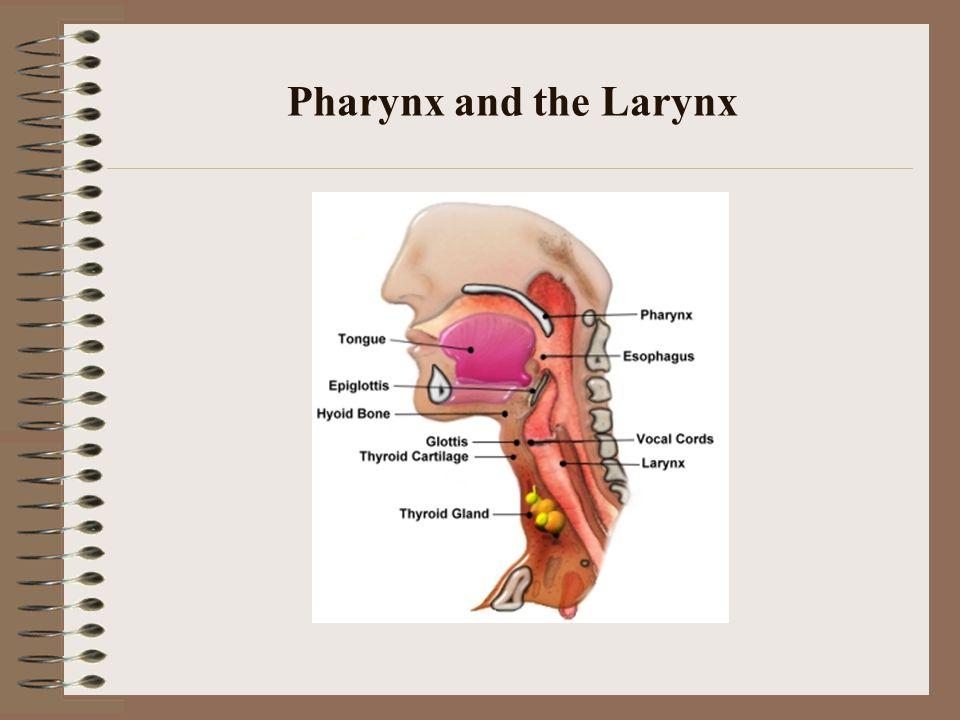 Pharynx and the Larynx