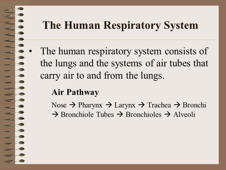 The Human Respiratory System The human respiratory system consists of the lungs and the systems of air tubes that carry air to and from the lungs. Air