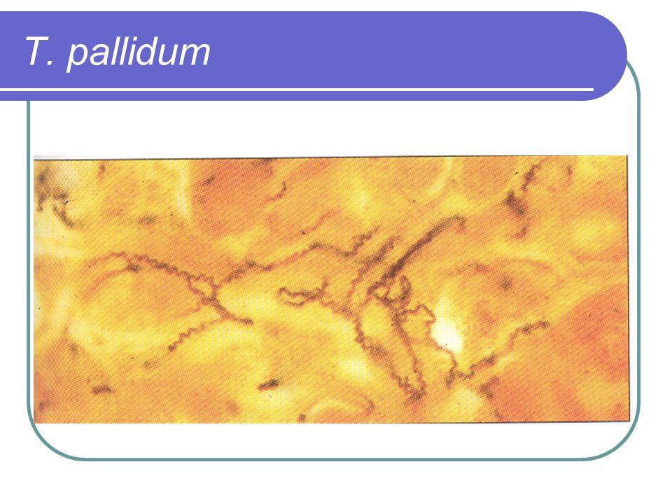 T. pallidum