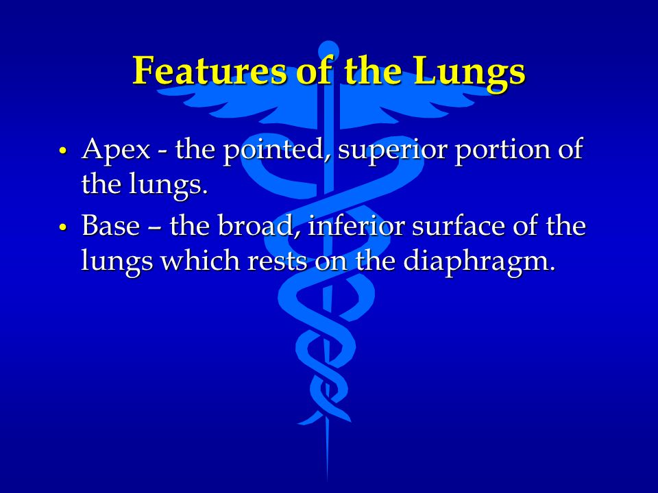 Features of the Lungs Apex - the pointed, superior portion of the lungs. Apex - the pointed, superior portion of the lungs. Base – the broad, inferior