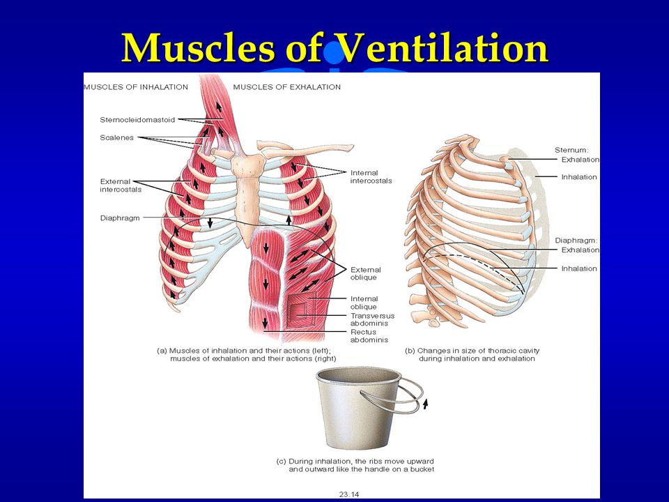 Muscles of Ventilation