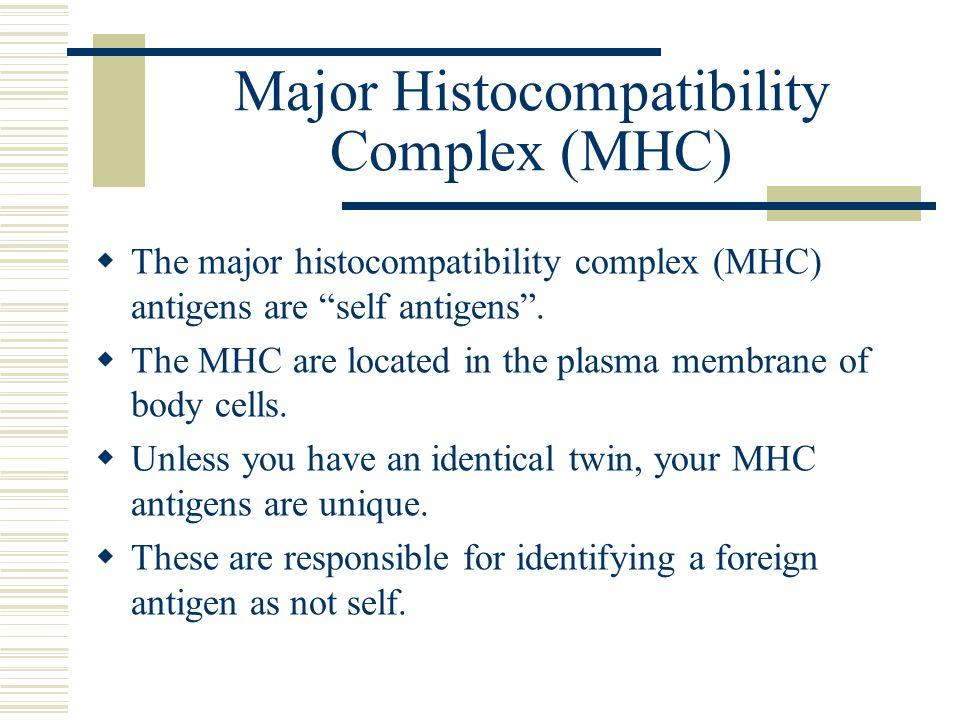 """Major Histocompatibility Complex (MHC)  The major histocompatibility complex (MHC) antigens are """"self antigens"""".  The MHC are located in the plasma"""