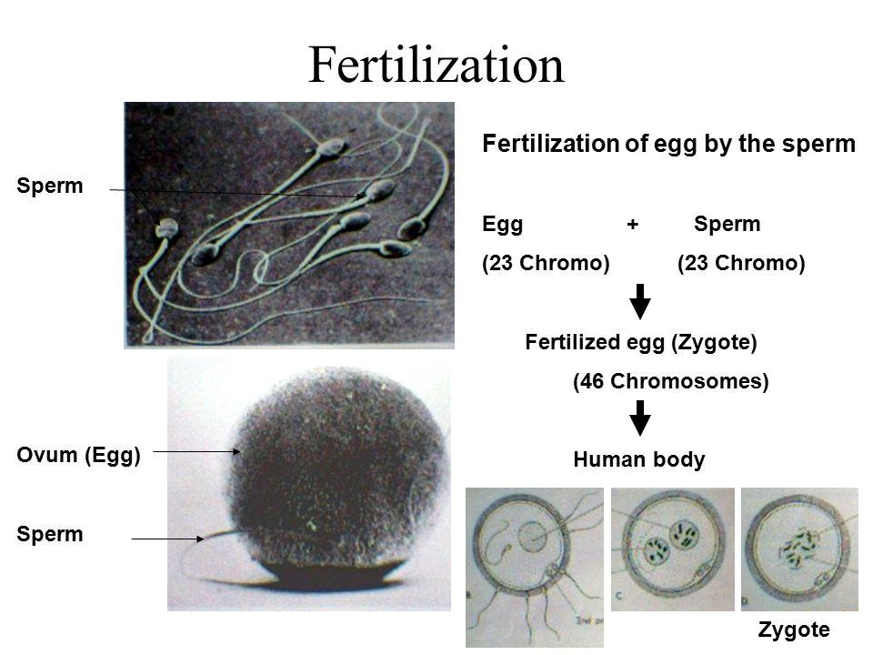 Implantation Uterus Uterine glands Maternal blood vessels Blastocyst Zygote