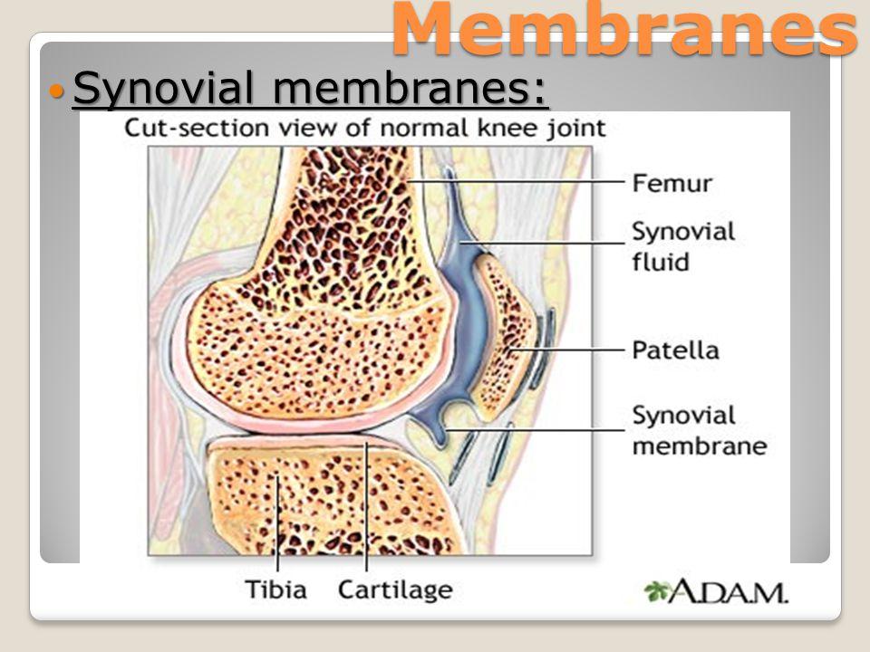 Membranes Synovial membranes: Synovial membranes: