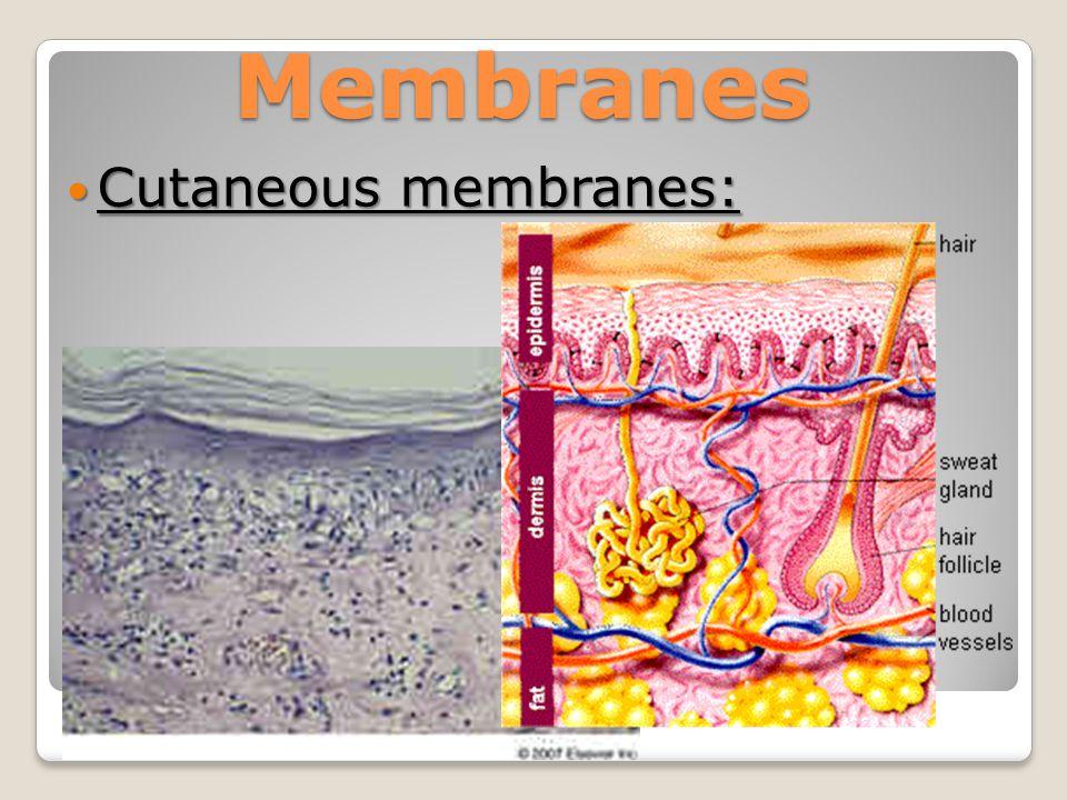 Membranes Cutaneous membranes: Cutaneous membranes: