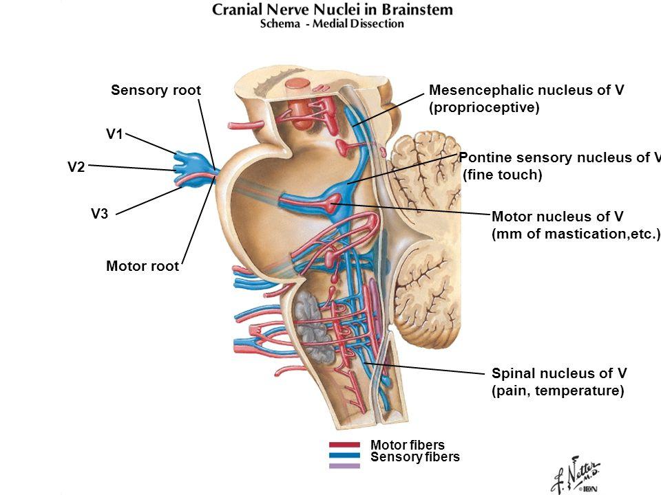 Mesencephalic nucleus of V (proprioceptive) Pontine sensory nucleus of V (fine touch) Spinal nucleus of V (pain, temperature) Motor nucleus of V (mm o