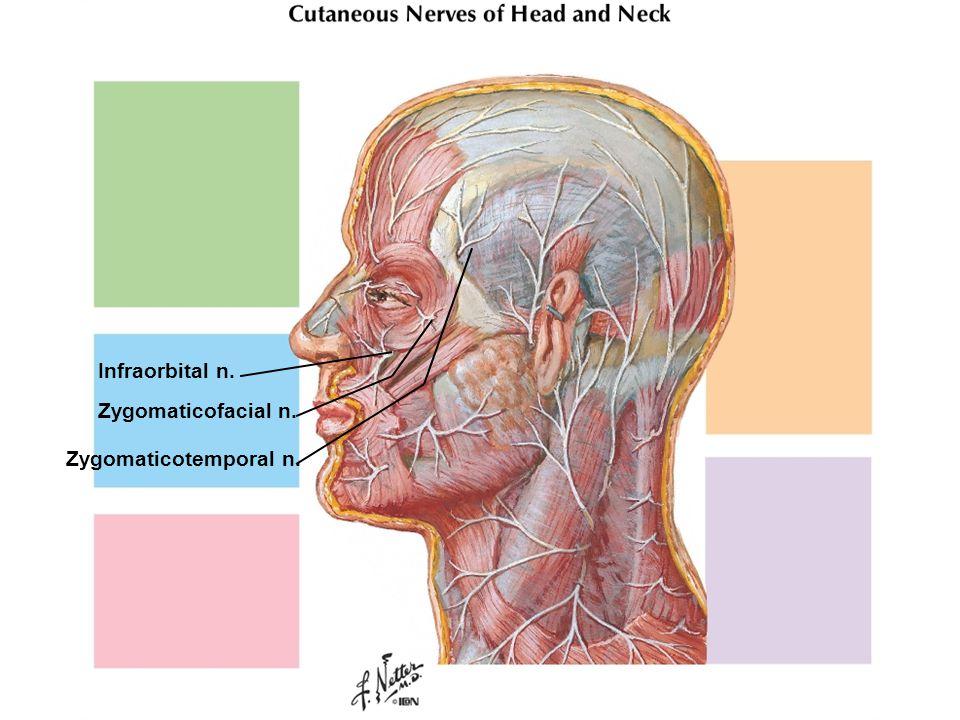 Infraorbital n. Zygomaticofacial n. Zygomaticotemporal n.