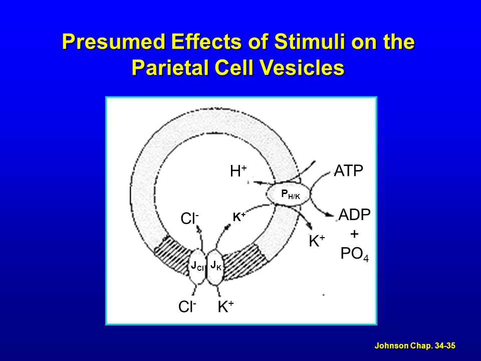 Johnson Chap. 34-35 Stimulation Presumed Effects of Histamine on the Parietal Cell