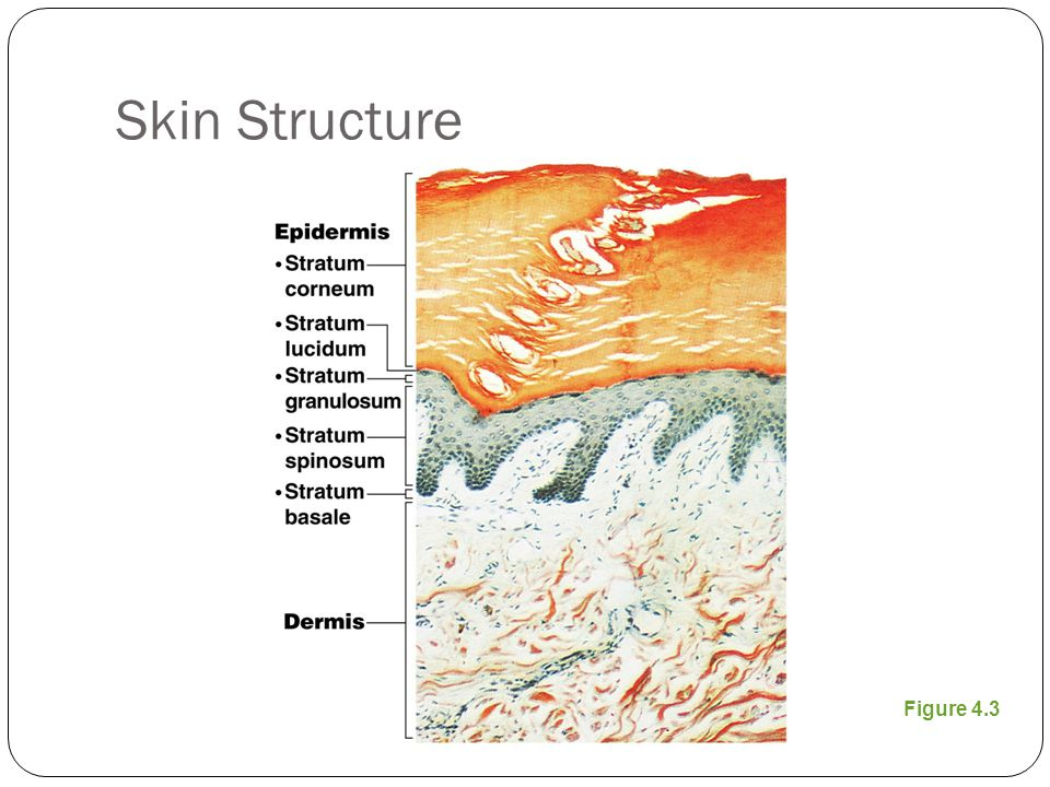 Skin Structure Subcutaneous tissue (hypodermis) is deep to dermis Not part of the skin Anchors skin to underlying organs Composed mostly of adipose tissue