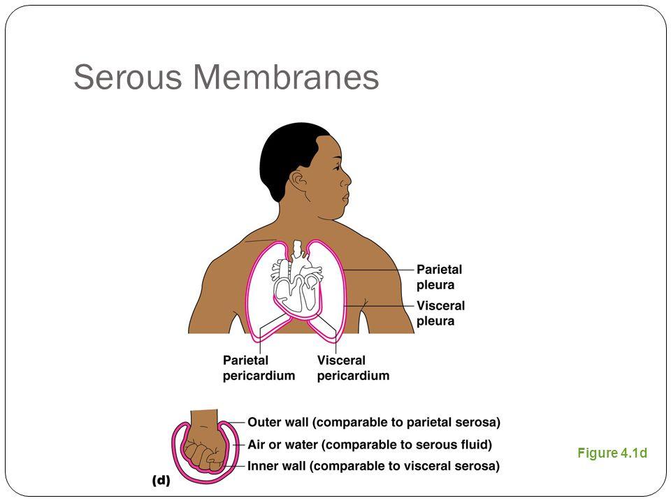 Serous Membranes Figure 4.1d