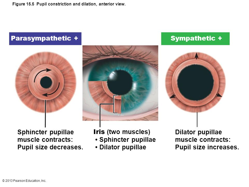 © 2013 Pearson Education, Inc. Figure 15.5 Pupil constriction and dilation, anterior view. Sphincter pupillae muscle contracts: Pupil size decreases.