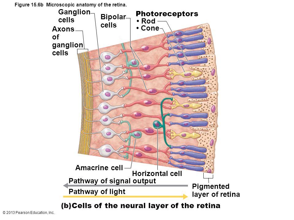 © 2013 Pearson Education, Inc. Figure 15.6b Microscopic anatomy of the retina. Photoreceptors Rod Cone Ganglion cells Bipolar cells Axons of ganglion